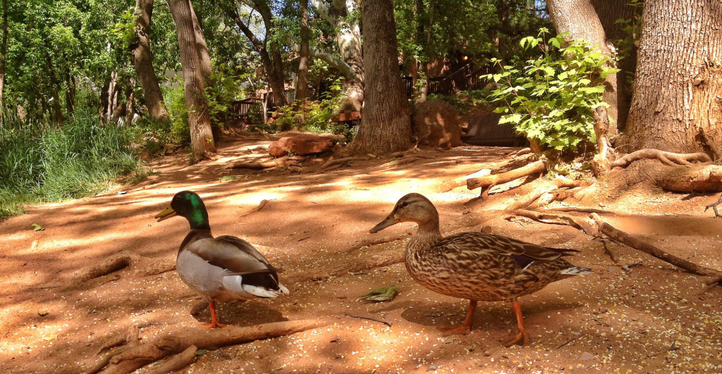 two ducks walk on path with tree trunks in background